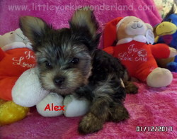 Little yorkie Wonderland puppy for sale